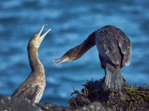 FLIGHTLESS CORMORANT, Galápagos, South America