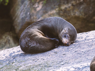 Galápagos Fur Seal