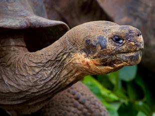 Galapagos tortoise, galapagos wildlife, big 15, galapagos cruise, ecuador, south america