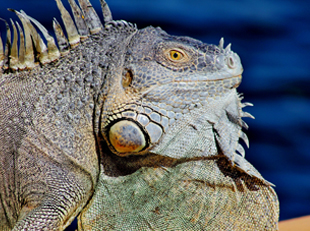 LAND IGUANA, Galápagos, South America