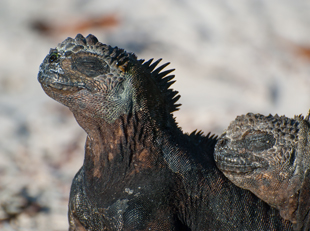 Marine Iguana, Galapagos Islands, Galapagos Wildlife, Big 15