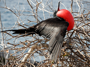 Frigate birds: Great and Magnificent