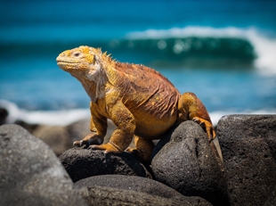 Galapagos Sante Fe Land Iguana
